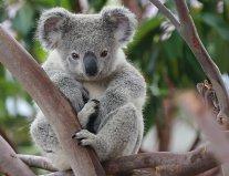 piepvandaag-koala2